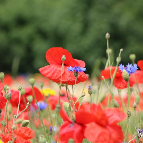 Image of flowering poppies