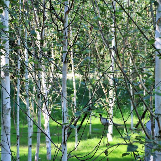 The Remembrance Glade Trees
